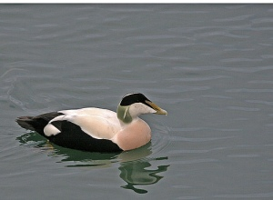 Eider or Cuddy Duck