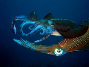 pair of humboldt squid